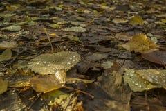La hoja de un árbol de abedul con lluvia cae Fotos de archivo
