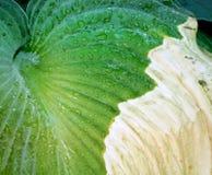 La hoja de una planta del Hosta que se ha infectado con enfermedad fotos de archivo libres de regalías