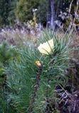 La hoja del abedul amarillo se pegó entre las agujas del pino Fotos de archivo