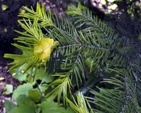 La hoja del abedul amarillo se pegó entre las agujas del pino Fotos de archivo libres de regalías