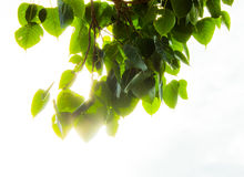 La hoja del bodhi en el fondo blanco con la luz Fotografía de archivo libre de regalías