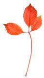 La hoja del otoño aisló Fotos de archivo libres de regalías