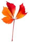 La hoja del otoño aisló Imágenes de archivo libres de regalías