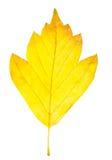 La hoja del otoño aisló Fotografía de archivo libre de regalías