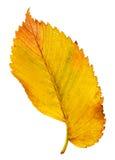 La hoja del otoño aisló Foto de archivo libre de regalías