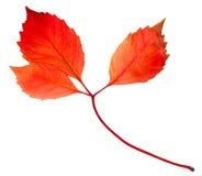 La hoja del otoño aisló Imagen de archivo