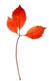 La hoja del otoño aisló Imagenes de archivo