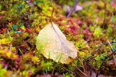 La hoja del otoño con agua cae en el musgo Imagenes de archivo