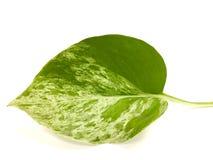 La hoja del pothos de oro aislada en el fondo blanco Una hoja verde que su forma como el corazón con verde y amarillo foto de archivo libre de regalías