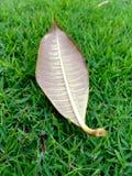 La hoja está en yarda verde Imagen de archivo libre de regalías