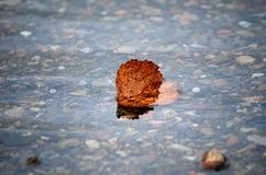 La hoja hermosa del abedul del otoño se pegó en corriente fría del río Fotografía de archivo