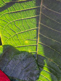 La hoja roja de la poinsetia reflejada Fotos de archivo libres de regalías