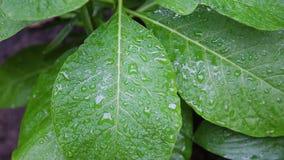 La hoja verde con agua cae la cantidad de la acción del fondo de la naturaleza Una hoja del verde vivo en cierre de la macro para metrajes