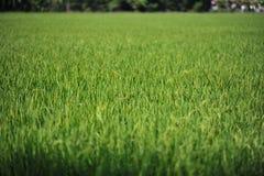 La hoja verde del arroz crece hasta granos de la producción en campo Imagen de archivo