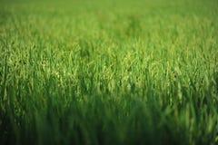 La hoja verde del arroz crece hasta granos de la producción en campo Fotos de archivo
