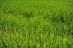La hoja verde del arroz crece hasta granos de la producción en campo Foto de archivo libre de regalías