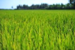 La hoja verde del arroz crece hasta granos de la producción en campo Fotos de archivo libres de regalías