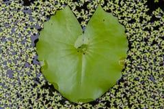 La hoja verde del loto parece corazón Foto de archivo libre de regalías