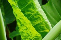 La hoja verde para el fondo foto de archivo libre de regalías