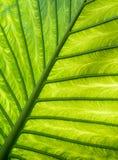 La hoja verde vetea el modelo Imagen de archivo libre de regalías