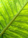 La hoja verde vetea el modelo Imágenes de archivo libres de regalías