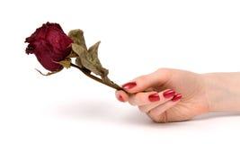 La holding della mano della donna è aumentato Immagine Stock
