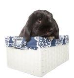 La Hollande noire taillent le lapin de bébé dans un busket blanc d'isolement dans le Th Photo stock