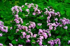 La honradez o el rediviva perenne del Lunaria florece macro con el fondo oscuro del bokeh, foco selectivo, DOF bajo Imagenes de archivo