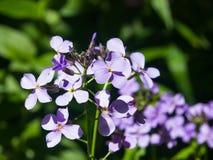 La honradez o el rediviva perenne del Lunaria florece macro con el fondo del bokeh, foco selectivo, DOF bajo Imagenes de archivo