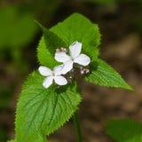 La honradez o el rediviva perenne del Lunaria florece macro con el fondo del bokeh, foco selectivo, DOF bajo Fotografía de archivo