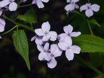 La honradez o el rediviva perenne del Lunaria florece macro con el fondo oscuro del bokeh, foco selectivo, DOF bajo Foto de archivo