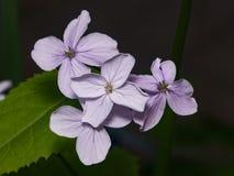 La honradez o el rediviva perenne del Lunaria florece macro con el fondo oscuro del bokeh, foco selectivo, DOF bajo Imagen de archivo