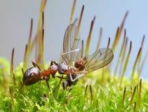 La hormiga del abastecedor lleva la mosca muerta Foto de archivo