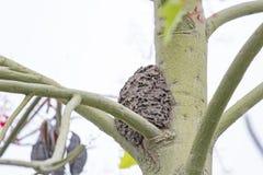 La hormiga del negro de la jerarquía en árbol Imagen de archivo