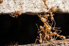 La hormiga del rojo del puente Fotos de archivo libres de regalías