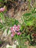La hormiga en la flor Foto de archivo libre de regalías