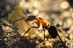 La hormiga lleva los tentáculos del ala de la mariposa Imagen de archivo