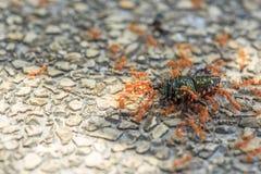 La hormiga lleva un insecto para la comida Foto de archivo