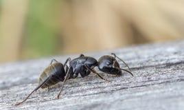 La hormiga negra se está arrastrando en el tablero de madera Imágenes de archivo libres de regalías
