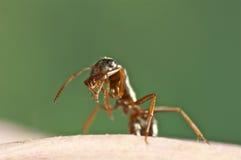La hormiga negra se está limpiando Foto de archivo