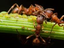 La hormiga roja reúne pequeños áfidos verdes en tronco de la planta verde Foto de archivo