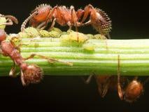 La hormiga roja reúne pequeños áfidos verdes en tronco de la planta verde con negro Foto de archivo