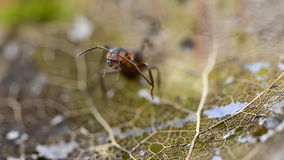 La hormiga se lava por la mañana en una hoja almacen de video