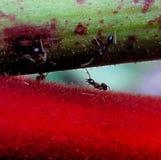 La hormiga va Fotos de archivo