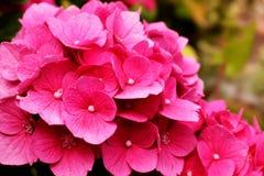 La hortensia de la planta floreciente en la estación de verano, las flores rosadas se cierra para arriba fotos de archivo libres de regalías