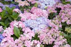 La hortensia florece el fondo en rosa y púrpura Imagen de archivo libre de regalías