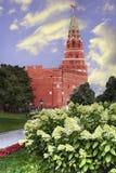 La hortensia floreciente florece contra la perspectiva de la torre de Borovitsky de la Moscú el Kremlin Fotos de archivo