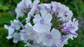La hortensia púrpura florece el primer en Bush Imágenes de archivo libres de regalías