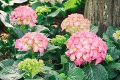 La hortensia rosada florece el flor Fotografía de archivo libre de regalías