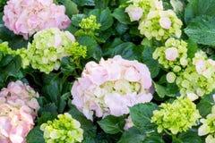 La hortensia rosada florece el flor Imágenes de archivo libres de regalías